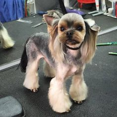 Yorkie haircuts for males and females + pictures) - Yorkie. Yorkie Cuts, Yorkie Hairstyles, Puppy Haircut, Dog Grooming Styles, Dog Haircuts, Yorky, Dog Rooms, Yorkie Puppy, Yorkshire Terrier