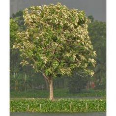 Tectona Grandis - Teak Tree