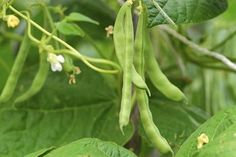 This is a guide about growing green beans. Green beans are a fun and easy crop to grow. Green beans grow well in many areas and often provide a great harvest. Fast Growing Vegetables, Growing Tomatoes In Containers, Fruits And Vegetables, Veggies, Planting Vegetables, Organic Vegetables, Planting Seeds, Types Of Onions, Growing Green Beans
