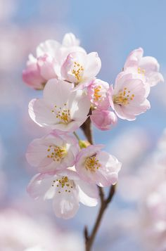 sakura by * Yumi *, via Flickr