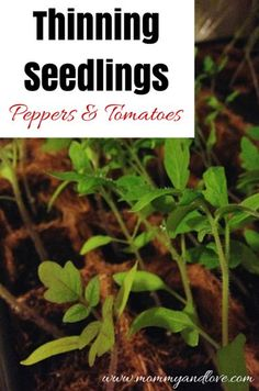 If you want to grow strong and healthy plants, you need to thin your seedlings! Learn all you need to know about thinning seedlings, specifically peppers. Growing Peppers, Growing Tomatoes, Growing Herbs, Growing Vegetables, Small Space Gardening, Gardening Tips, Vegetable Gardening, Fruit Garden, Garden Seeds