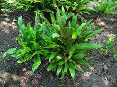 Асплениум сколопендровый - Asplenium scolopendrium, асплениум фото