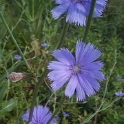 Chicory root coffee, also the site has information for how to make a chicory root syrup for medicinal/baking