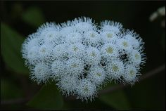 Ageratina adenophora;  by petrichor, via Flickr
