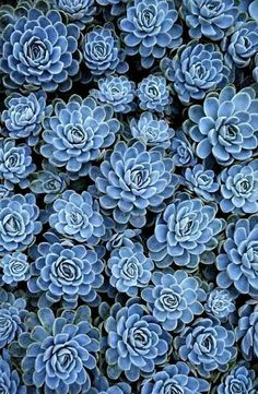 Blue Succulents. Inspiration for #blue #gems
