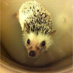 I don't like bath time #hedgehog #hedgehog