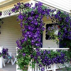 Clematis draping around a porch <3
