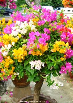 Bougainvillea is a plant that can, even if planted as the sole tropical, turn your backyard into a tropical paradise. Bougainvillea also enjoys high humidity prior to blooming. The bougainvillea plant is hardy to USDA Zones to Bougainvillea Colors, Bougainvillea Bonsai, Bonsai Plants, Bonsai Seeds, Home Garden Images, Beautiful Gardens, Beautiful Flowers, Plantas Bonsai, Fairy Garden Plants