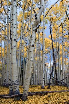 Day 336  Aspens glow against the storm clouds in Colorado