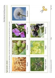A set of images showing seven of the main ways the seeds of plants are dispersed. Children must match up each picture with a description of how the seed is adapted to travel away from the parent plant. Seeds Preschool, Formal Letter Writing, Seed Dispersal, Data Binders, Science Experiments Kids, Teaching Science, Animal Adaptations, Science Programs, Plant Identification