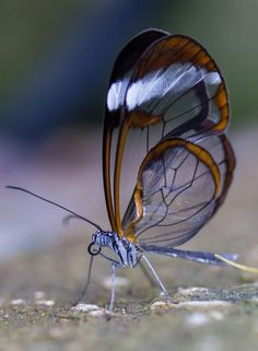 The Glasswinged butterfly (Greta oto) is a brush-footed butterfly. Adults exhibit a number of interesting behaviors, such as long migrations and lekking among males.