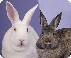 Meet Hedy & Nutmeg, an adopted New Zealand & English Spot Mix Rabbit, from Friends of Petraits in Chicago, IL on Petfinder. Learn more about Hedy & Nutmeg today. New Zealand English, New Zealand Rabbits, Rabbit Colors, Boxing Training, Animal 2, Chicago Illinois, Litter Box, Animal Shelter, Beautiful Creatures