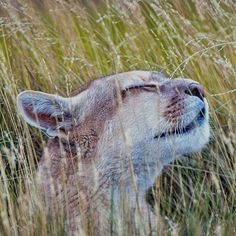 What a feeling! Summer time breeze flesh air... Travel and meet... A Puma in Torres del Paine @ National Park Chile   heathrowgatwickcars.com via Instagram http://ift.tt/29qFjq1