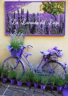 Lavender This photo has been taken in the Desenzano, Lago di Garda - Italy romantic and nostalgic about the combination of lavender and a bicycle. welcome to the Purple world Give your backyard or front lawn a fresh view this time with these wonderful gar Lavender Cottage, Lavender Fields, Lavender Flowers, Lavander, Garden Crafts, Garden Projects, Diy Projects, Garden Ideas, Bike Planter