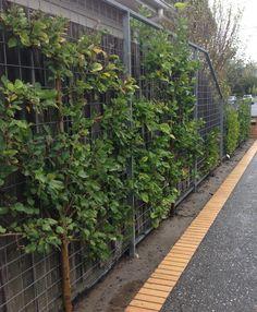 Espalier fruit trees line a narrow driveway in Melbourne.