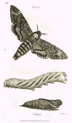 "Shaw's General Zoology - (Insects) - ""SPHINX - ATROPOS MOTH "" - Copper Engraving - 1805"