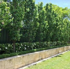 Ornamental Pears underplanted with gardenia florida Backyard landscaping trees ✔ 31 amazing large backyard landscaping 22 > Fieltro. Large Backyard Landscaping, Privacy Landscaping, Backyard Garden Design, Diy Garden, Landscaping Ideas, Residential Landscaping, Landscape Plans, Landscape Design, Back Gardens