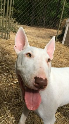 Monkey★ My silly little Bull Terrier ♥