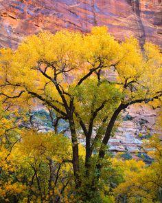 Cottonwood: Zion Nt'l Park, Utah