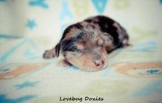 Black and tan newborn dachshund