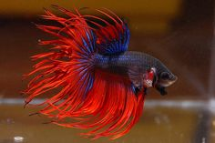 Red and blue Crowntail