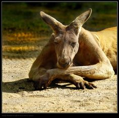 Kangaroo - Kangaroos & Animals Background Wallpapers on Desktop . Animals And Pets, Funny Animals, Cute Animals, Strange Animals, Red Kangaroo, Australia Animals, Tier Fotos, Funny Animal Pictures, Spirit Animal