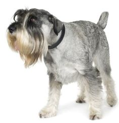 Standard Schnauzers: What's Good About 'Em? What's Bad…