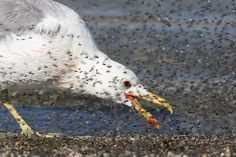 The California Gull (Larus californicus) is a medium-sized gull, smaller on average than the Herring Gull but larger on average than the Ring-billed Gull, though may overlap in size greatly with both. Adults are similar in appearance to the Herring Gull, but have a smaller yellow bill with a black ring, yellow legs, brown eyes and a more rounded head.