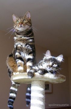 Sun-striped Cats