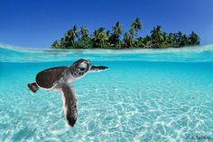 Turtle under water Bora Bora, Tahiti, Beautiful Ocean, Simply Beautiful, Underwater Photographer, Pets 3, Baby Turtles, Paradise On Earth, French Polynesia