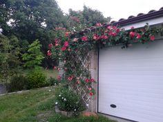 El rosal tricolor
