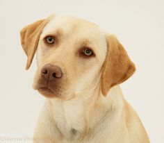 adult yellow labordor retrievers | WP17076 Yellow Labrador Retriever Millie , 1 year old.