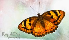 The Butterfly Butterfly, Nature, Photography, Animals, Image, Fotografie, Animales, Photograph, Animaux