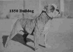 I Love the Bulldog breed!  They are the most amazing, lovable, loyal, brave and affectionate breed I've ever owned.  It wasn't until I was the owner of an Olde English that I realized how wonderful this breed is, in my opinion, they are THE BEST bulldog breed!!