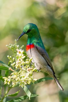 Southern double-collared sunbird (Cinnyris chalybeus). Check out the fantastic colors on this sunbird. Beautiful.
