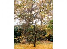 Ornamental apple, Malus transitoria, dropping gold colored leaves