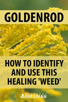 Goldenrod is an herb used either in recipes, or to treat various conditions. We tell you how to identify it, and all of the ways in which you can use it. Healing Herbs, Medicinal Plants, Natural Healing, Natural Home Remedies, Herbal Remedies, Natural Medicine, Herbal Medicine, Cold Press Soap Recipes, Goldenrod Flower