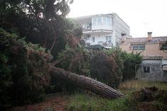 Un pi de grans dimensions caigut en un jardí a Vilassar de Mar.