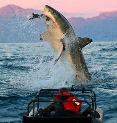 Great White Sharks — Chris Fallows