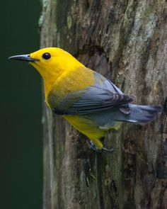 Its like a blue, little little green, black, yellow color scheme.   Prothonotary Warbler (Protonotaria citrea) male