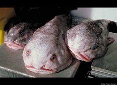 Most Bizarre Deep-Sea Creatures ~~ Blobfish (Psychrolutes marcidus)