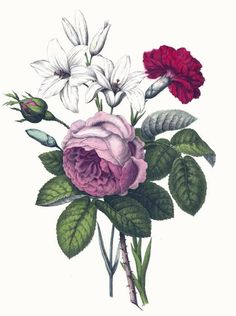 Vintage botanical print of a pink rose, red carnation and white lilies.