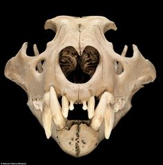 The skull of a north African Barbary lion thought to have lived in the Tower of London around 1280 - 1385