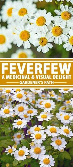 A plant renowned for its ability to prevent migraine headaches, feverfew also brings joy to the beholder via its profuse and cheerful white and yellow flowers. Learn more about this shrubby beauty now at Gardener�s Path!