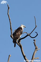 EDGE :: Bird Species Information - Flores Hawk-eagle (Nisaetus floris)