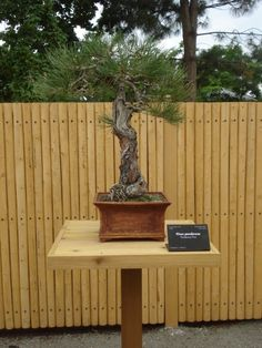 Alert! - Stolen Bonsai On Wednesday evening, June 5th, 2013 the below listed bonsai was stolen from Denver Botanic Gardens' Bill Hosokawa Bonsai Pavilion. This cherished Ponderosa Pine Bonsai Tree was donated by the Jim Robinson family. Any information about its whereabouts is appreciated.