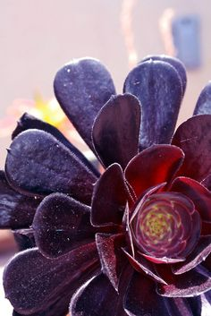 There are a full spectrum of purples in this succulent, from lilac to aubergine