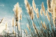 New Zealand native 'Toitoi' or 'Toetoe' Grass royalty-free stock photo