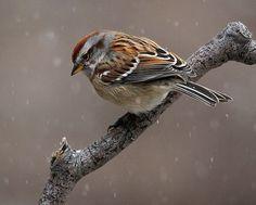 Sparrow in snow by Brian Masters on A selection of bird photos Small Birds, Colorful Birds, Little Birds, Pretty Birds, Beautiful Birds, Animals Beautiful, Parus Major, Sparrow Bird, Backyard Birds