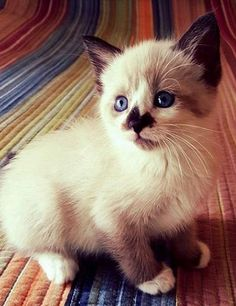 Meet Daikon, a Petfinder adoptable Domestic Medium Hair Cat | Kennesaw, GA | SUSHI THEMED KITTEN:  6 weeks / very small  My name is Daikon, and I am a super affectionate kitty....